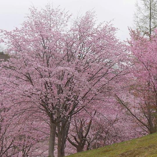 びばい桜2016