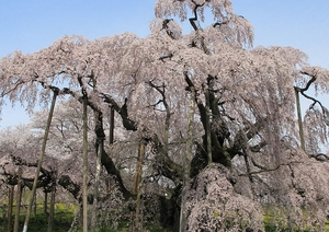 Miharu_Miharu-Takizakura_Front_1桜.jpg