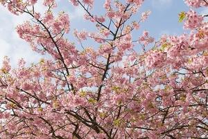 1280px-Prunus_lannesiana_cv._Kawazu-zakura_05桜.jpg
