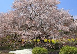 1280px-Fujinomiya_Kariyado-no-Gebazakura_Front_1桜.JPG